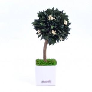 Smeralidno Fa Parvafolia,